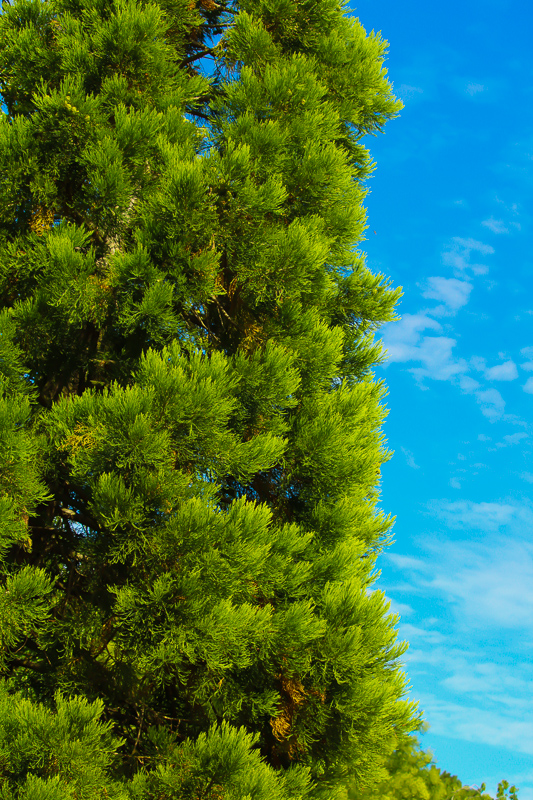 The Sequoiadendron Giganteum, commonly referred to as the Sierra Redwood.