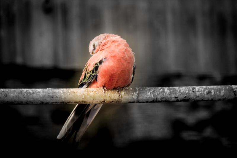 A beautiful pink Galah Cockatoo
