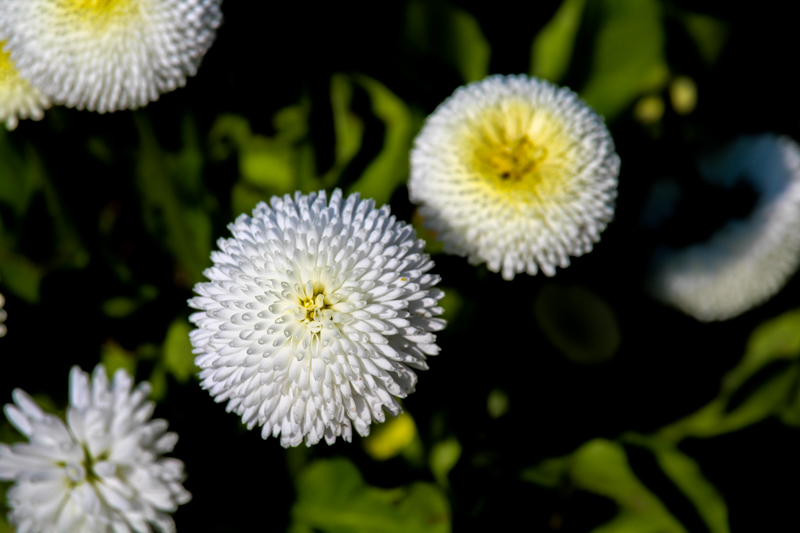 White Chrysanthemums right before they bloom